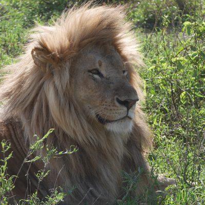 lion_sanctuary